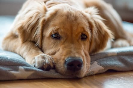 Signs & Symptoms of Hypothyroidism in Dogs, Westport Vets
